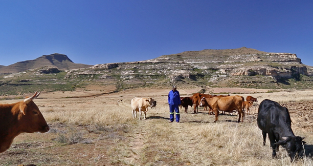 Naledi Village Chairman Anton Chaka and his herd of cows. Photo courtesy Diana Neille